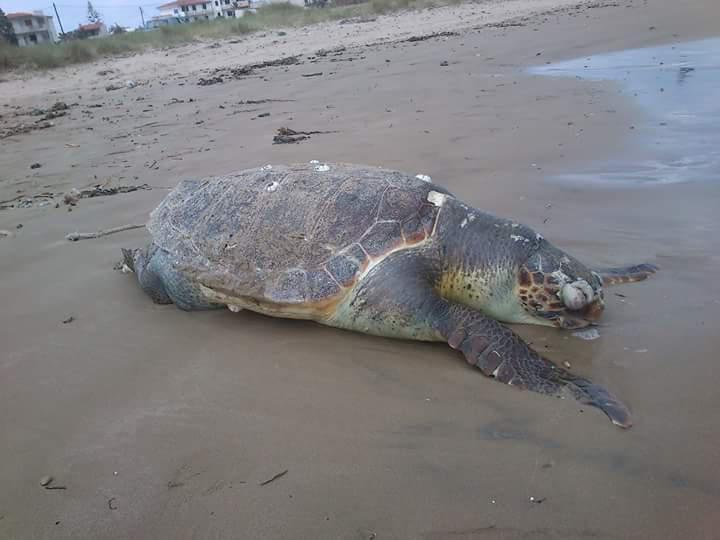 Νεκρή Χελώνα στο λιμανάκι Γουρνών;