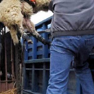 Έκλεψαν 120 πρόβατα στον Αχεντριά