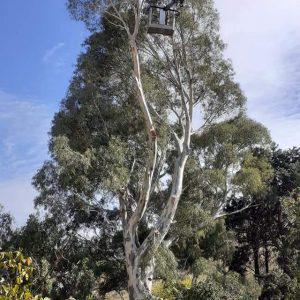 Πύργος Μονοφατσίου: Κλάδεμα σε τεράστιο επικίνδυνο ευκάλυπτο