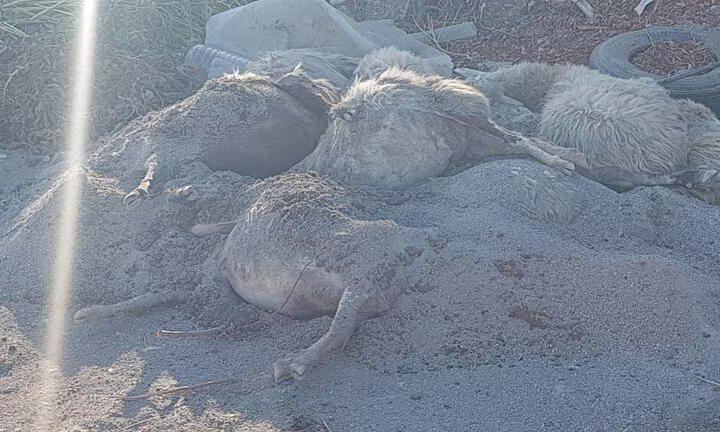 Μέχρι και πρόβατα πέταξαν σε παράνομη χωματερή!